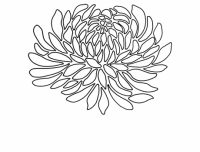 Chrysanthemum 1